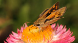 Skipper #4 by ryzst, photography->butterflies gallery