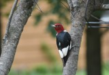 The Red-Headed Woodpecker by tigger3, photography->birds gallery
