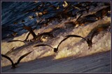 Symphony of the Great Shearwater by Pjsee16, photography->birds gallery