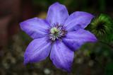 Purple Star by SatCom, Photography->Flowers gallery