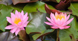 Twin Water Lilies by Pistos, photography->flowers gallery