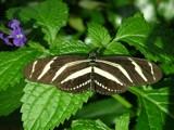 Flutter by by utshoo, Photography->Butterflies gallery