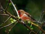 Redpoll by biffobear, photography->birds gallery