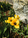 Spring! Yellow Tulips by Pistos, photography->flowers gallery