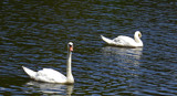 Swans by ccmerino, Photography->Birds gallery