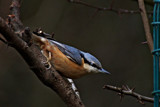 Nuthatch by biffobear, photography->birds gallery
