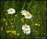 Daisies by GIGIBL, photography->flowers gallery