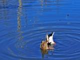 Ducks a-dabblin' by jsnaher, photography->birds gallery