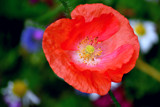 Poppy by braces, Photography->Flowers gallery