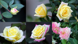 Music Box Rose Bush by Pistos, photography->flowers gallery