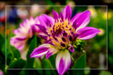 Dahlia Show 22 by corngrowth, photography->flowers gallery