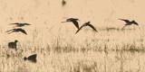 Stilts by garrettparkinson, photography->birds gallery