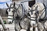 Percherons by Jalexa, photography->animals gallery