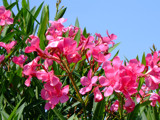 Pink Oleander by connodado, Photography->Flowers gallery