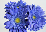 Trio of Blue by jerseygurl, photography->flowers gallery
