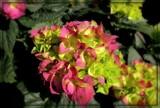 Sunny Hydrangea by trixxie17, photography->flowers gallery