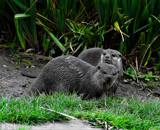 Asian small-clawed otter by biffobear, photography->animals gallery