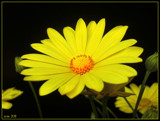 DAISY by ccmerino, photography->flowers gallery
