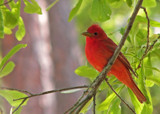 Summer Tanager by allisontaylor, Photography->Birds gallery