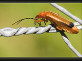 on the fence ( #3 ) ; Rhagonycha fulva by kodo34, Photography->Insects/Spiders gallery