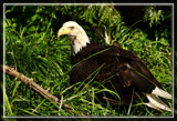 The Eagle Has Landed by Jimbobedsel, Photography->Birds gallery