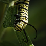 Monarch in training by luckyshot, photography->butterflies gallery