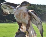 Bird of Prey by Novice, Photography->Birds gallery