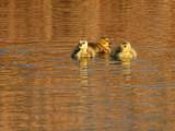 Sunset Swim by jeffpratt, Photography->Birds gallery