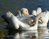 Eye of Pelican by garrettparkinson, photography->birds gallery
