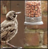 Young Starling by Dunstickin, photography->birds gallery
