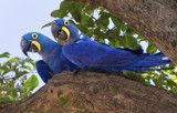 Hyacinth Macaws by jeenie11, photography->birds gallery