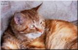 Tom Tom-My Feline Buddy by tigger3, photography->manipulation gallery