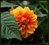 Peek-a-boo Dahlia by tigger3, photography->flowers gallery