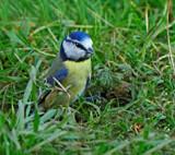 Eurasian.. by biffobear, photography->birds gallery