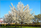 Goes Town District In Spring by corngrowth, photography->flowers gallery