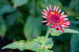 Zinnia by Ramad, photography->flowers gallery