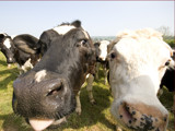 When Cows Attack by Cartman2k3, Photography->Animals gallery