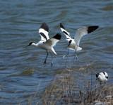 Advocets by biffobear, photography->birds gallery