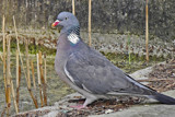 Wild Pigeon by Ramad, photography->birds gallery