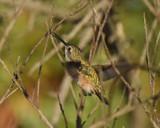 Busy Buddy by garrettparkinson, photography->birds gallery