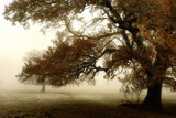 Oaks in the Mist by coram9, photography->landscape gallery