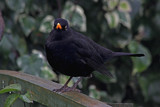 Blackie by biffobear, Photography->Birds gallery
