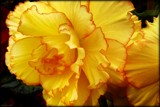 Tuberous Begonia 3 by LynEve, photography->flowers gallery