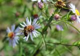 Bee Fly & Dwarf Mountain Fleabane by Nikoneer, photography->flowers gallery