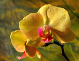 Orchid by braces, Photography->Flowers gallery