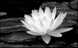 Water Lily_B&W by tigger3, contests->b/w challenge gallery