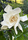 Cape Jasmine by reddawg151, photography->flowers gallery