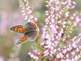 Small Copper- Kleine vuurvlinder- (Lycaena phlaeas ) by cameraatje, photography->butterflies gallery