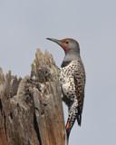 Northern Flicker by garrettparkinson, photography->birds gallery