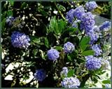 Blue Pleasure - Buckthorn by trixxie17, photography->flowers gallery
